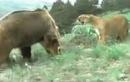 Sư tử  lì lợm xua đuổi gấu để bảo vệ con