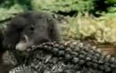 Xem cá sấu đọ sức với gấu đen