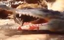 Cá sấu thông minh giả chết bẫy chim rừng