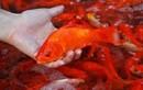 Cúng ông Công, ông Táo: Thay thả cá chép sống bằng đốt cá chép giấy có tốt?