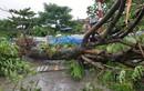 Ảnh hưởng bão số 3: Hải Dương ngập lụt, Hải Phòng bật gốc cây xanh