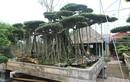 Cây sanh cổ rễ đan như phím đàn, chủ nhân hét giá 10 tỷ