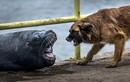 Chó săn và hải cẩu hằm hè tranh cướp cá dữ tợn