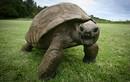 Những con rùa cụ kỵ nhất trên thế giới
