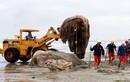 Hãi hùng cảnh xử lý xác cá voi lưng gù khổng lồ