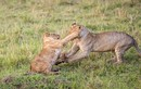 Đầu năm, anh em sư tử đã hăng hái kịch chiến