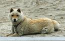 """Giống chó biết biến thành """"cừu"""", cực lạ, hiếm và yêu"""