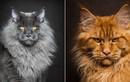 """Ảnh đẹp """"chất lừ"""" của mèo Maine Coon, mèo lớn nhất thế giới"""