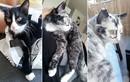 Kỳ quặc mèo đen bị bạch biến, đổi màu lông mỗi ngày