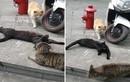 """Mèo đen léng phéng bị """"vợ"""" bắt gặp... kết khó đoán"""