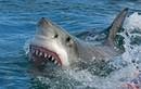 Cá mập quằn quại gãi lưng bằng khúc gỗ vì quá ngứa