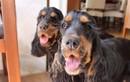"""Ngẩn ngơ ngắm hai cô chó """"điệu đà"""" có hàng mi quyến rũ nhất TG"""