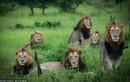 Lạ lùng sư tử bờm đem, quyền lực đỉnh cao vẫn FA không lối thoát