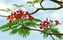 Bài thuốc hay cực hiệu quả từ những cây bóng mát vỉa hè