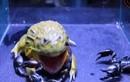 Clip: Đánh liều ăn bọ cạp độc, ếch khổng lồ bị đốt vào mắt