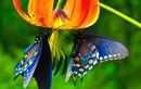 """Điểm kỳ lạ chỉ có ở loài bướm khiến động vật to lớn """"chào thua"""""""