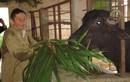 Hồ Giáo: Khi anh hùng chỉ thích…. chăn bò
