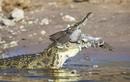 Video: Nhảy xuống hồ trồn diều hâu, chim nhỏ lao đầu vào miệng cá sấu