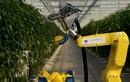 Video: Robot công nghệ cao hái ớt chuông trong 24 giây