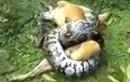 Chó nhà suýt bị nghiền nát bởi trăn khủng