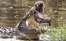 Gay cấn cảnh rùa vùng vẫy trong miệng cá sấu