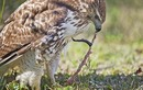 Chim ưng lột da rắn - ảnh ấn tượng nhất tuần