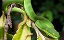Tại sao rắn lục đuôi đỏ xuất hiện nhiều ở khu dân cư?