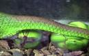 Tận mục cảnh rắn lục đuôi đỏ đẻ bầy con rồi chết