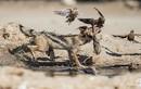 Kịch liệt đại chiến chó rừng, gà gô và chim bồ câu