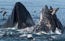 Bồ nông vùng vẫy trong hàm cá voi khổng lồ