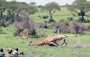Bắn hươu cao cổ, giải cứu khỏi dây bẫy kẻ săn trộm