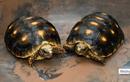 Những khám phá thú vị về loài rùa ít ngờ đến