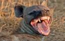 Quyền lực động vật giống cái trong TGĐV: Linh cẩu đốm