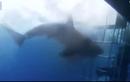 Thê thảm cảnh cá mập lao đầu vào lồng sắt đớp người