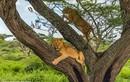 """Gặp voi, đàn sư tử """"sợ mất mật"""", co rúm chạy lên cây trốn"""