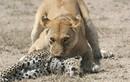 Báo non đau đớn bỏ mạng giữa vòng vây sư tử
