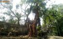 Thông tin bất ngờ về việc chặt hạ cây sưa 100 tỷ ở Hà Nội