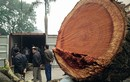 Ảnh: Cận cảnh chặt hạ cây sưa 100 tỷ ở Hà Nội