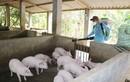 Dịch tả lợn châu Phi lan 21 tỉnh thành, tiêu hủy gần 65.000 con lợn