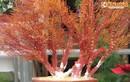 San hô bonsai siêu độc đáo xuất hiện ở Hà Nội