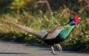 Bỏ tiền triệu mua chim trĩ xanh cực đẹp làm quà biếu Tết