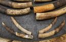 Thái Lan xét xử 2 người Việt Nam vận chuyển ngà voi trái phép
