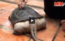 Phát hiện rùa lạ mọc đuôi như cá sấu ở Việt Nam