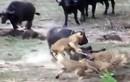 Trâu tấn công sư tử để cứu đồng loại