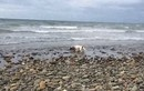 Xem chó giúp cứu sống cá heo mắc cạn