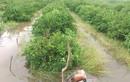 Hình ảnh vườn cây trái, rau quả ngập nặng trong bão số 9