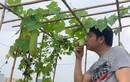Mướt mắt vườn rau sạch trên sân thượng nhà ca sĩ Trọng Tấn