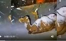 Video: Lạc đà ngơ ngác khi thấy tuyết rơi ở Ả Rập Saudi