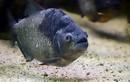 Đáng sợ... loài cá cảnh ăn thịt người được mua bán tràn lan