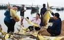 Kéo mẻ lưới bắt 300 con cá vàng, thu 600 triệu đồng